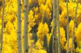 Aspen leaves tremble at the slightest breeze which gives them the name Quaking Aspens. Click to enlarge Aspen