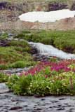 Brilliant Parry's Primrose grows by the streamside during Spring in the mountains. Click to enlarge Cascade.
