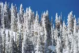 Average annual snowfall on some mountain passes is over 300 inches. After each storm, the trees are decorated with a white blanket of snow. Click to enlarge Colorado Winter